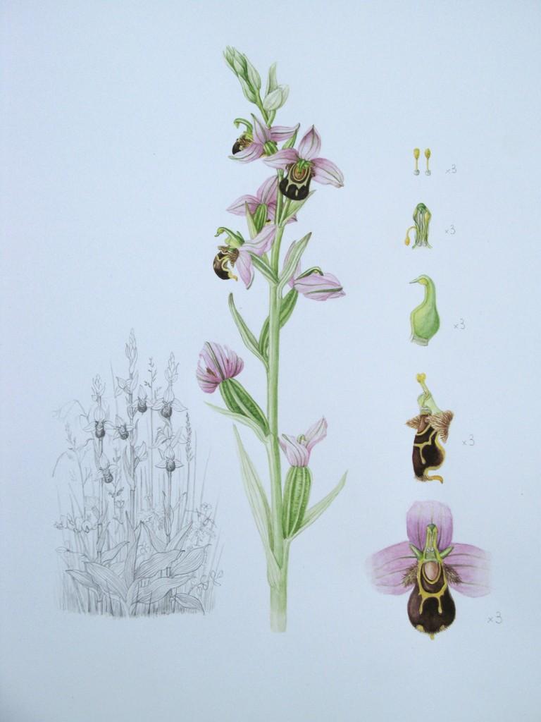 Bee Orchid-Isobel Bartholomew